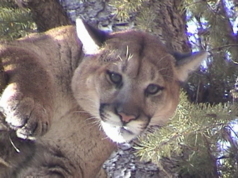 Idaho Mountain Lion Hunt Guided