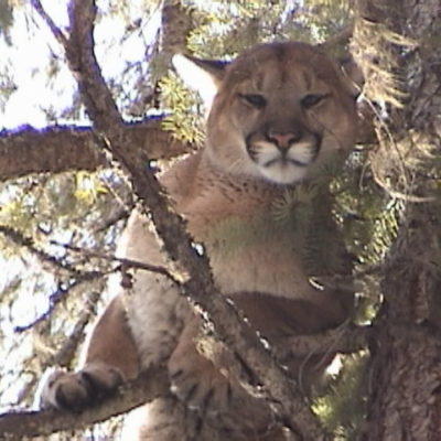 If you are looking for an Idaho Mountain Lion hunt with hounds visit lhhunting.com