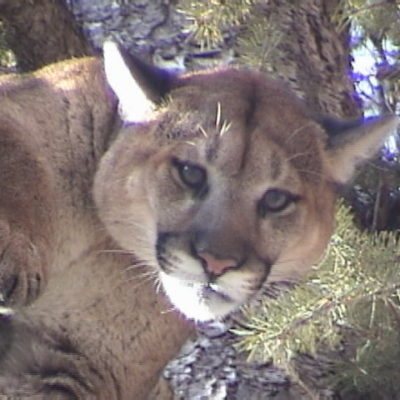 Guaranteed mountain lion hunts are an option in Idaho