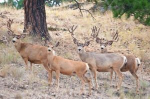 book your private ranch trophy mule deer hunt in idaho lhhunting com