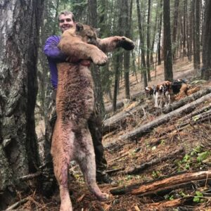 Mountain lion hunting with hounds